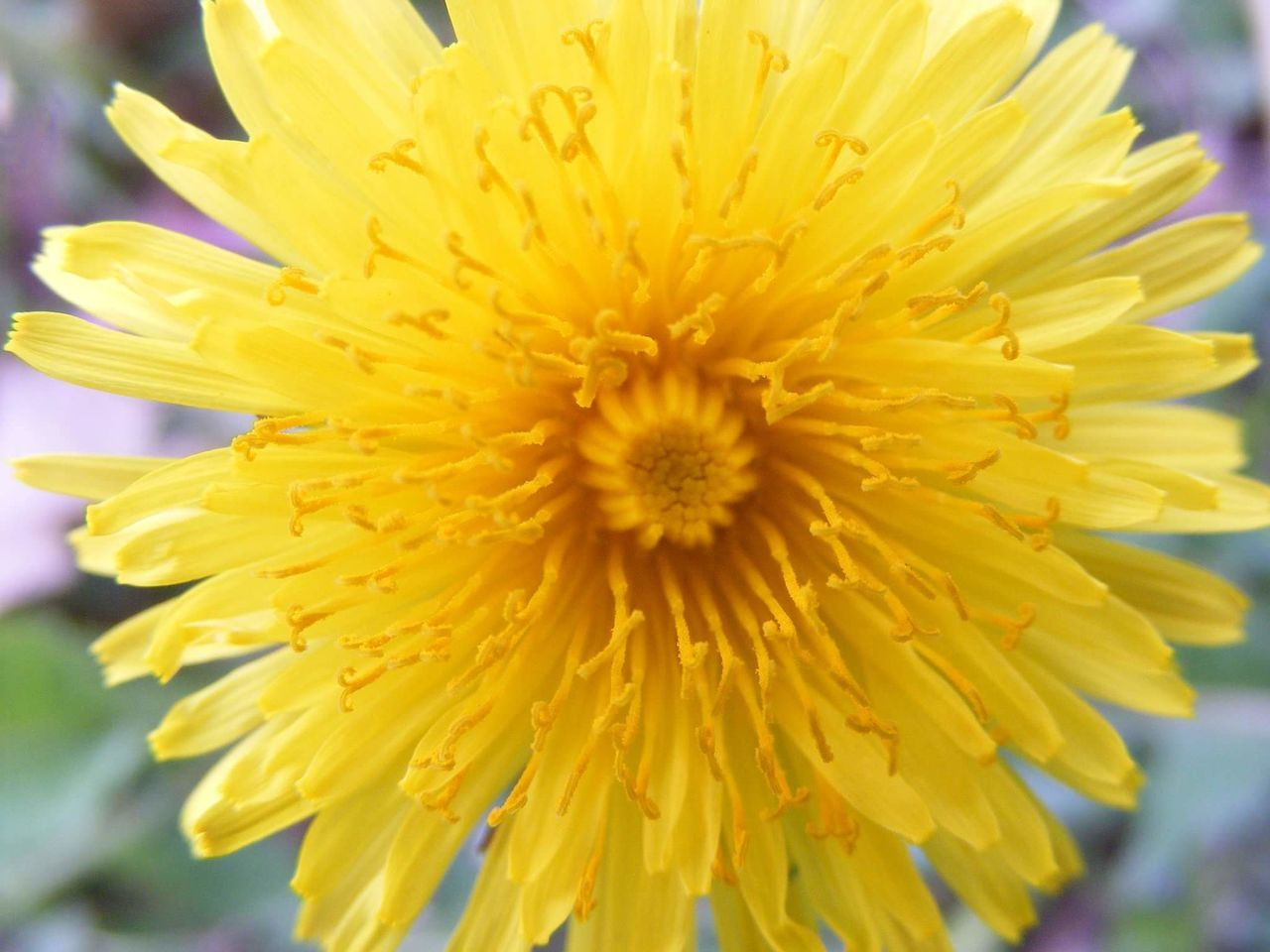 flower, petal, yellow, fragility, freshness, flower head, nature, beauty in nature, close-up, growth, pollen, no people, outdoors, plant, day, blooming