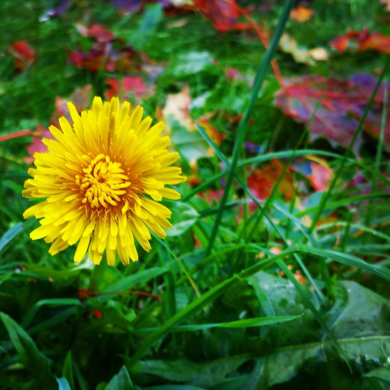 flower, yellow, fragility, beauty in nature, petal, nature, freshness, growth, flower head, plant, close-up, field, no people, outdoors, blooming, day