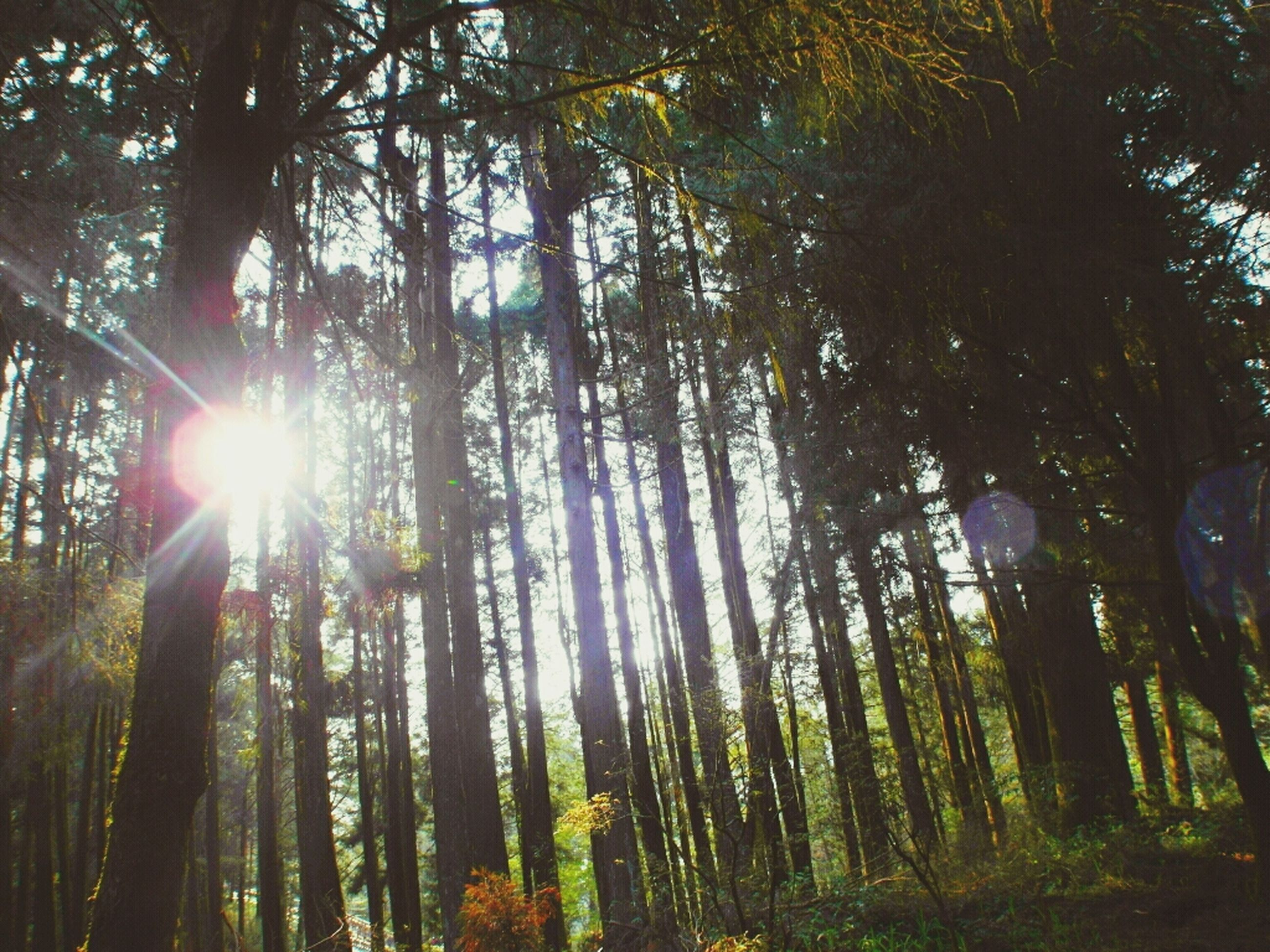 tree, sun, sunbeam, tranquility, sunlight, growth, forest, tree trunk, lens flare, nature, beauty in nature, tranquil scene, woodland, low angle view, scenics, branch, back lit, sunny, non-urban scene, idyllic