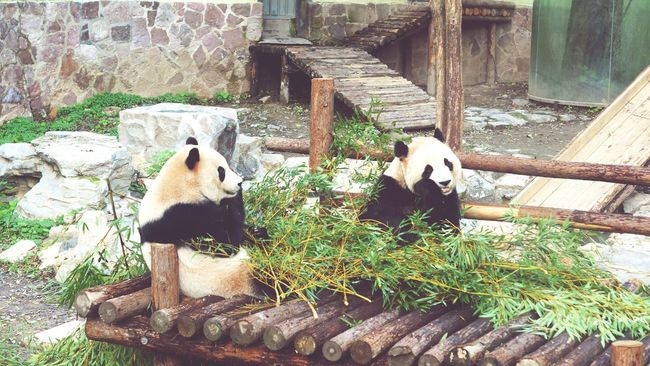 上海 Shanghai, China 上海动物园 熊猫