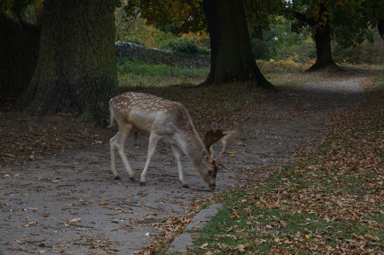 7654 To 7692 Animal Themes Antlers Bench Bradgate Park Bradgatepark Brick Wall Day Deer Fallen Leaves Feeding  Feeding Animals Fence Grass Leaves Leaves🌿 Mammal Nature No People One Animal Outdoors Tree Tree Trunk Trees Wood - Material