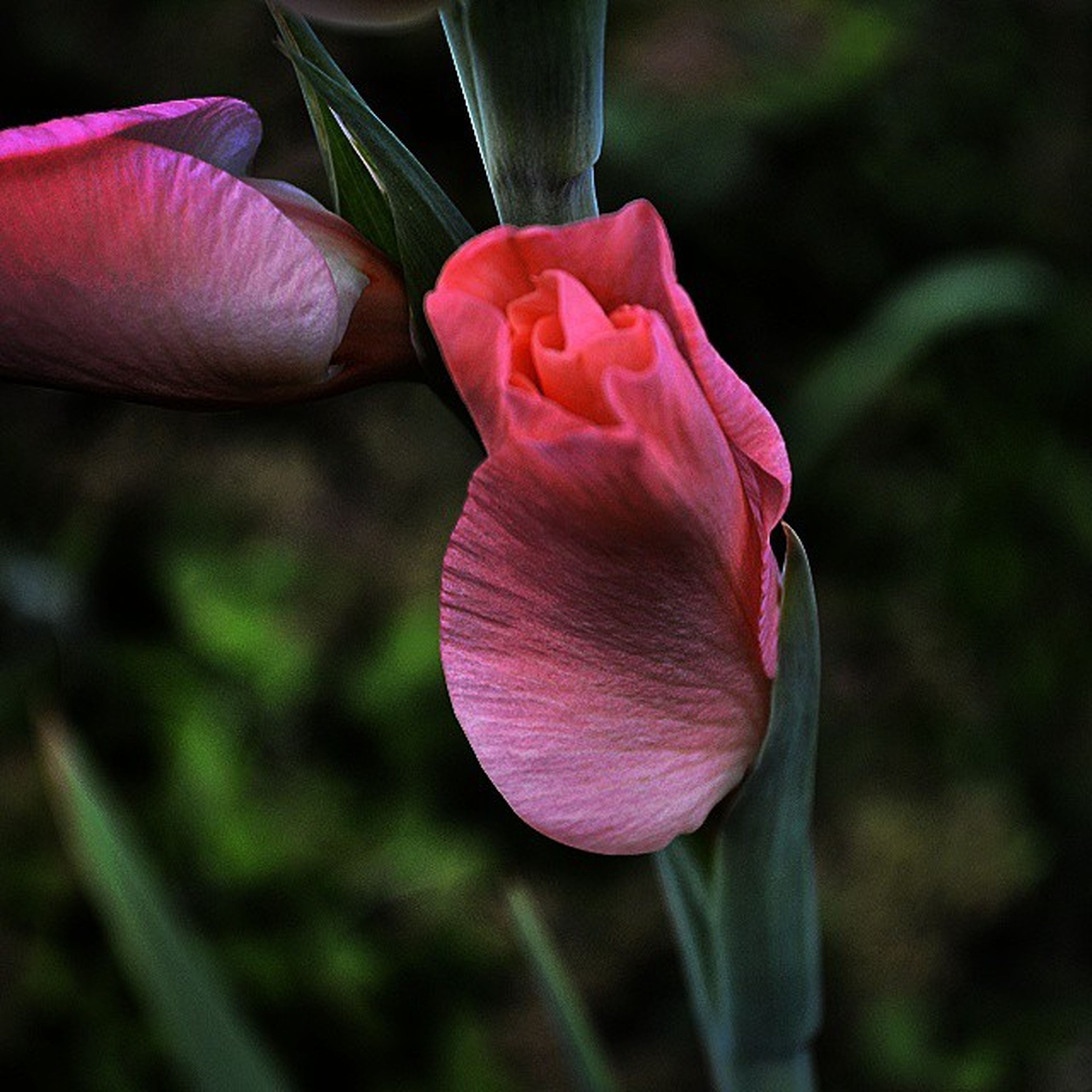 flower, petal, pink color, fragility, flower head, close-up, freshness, focus on foreground, single flower, beauty in nature, growth, pink, nature, stem, red, blooming, tulip, selective focus, outdoors, plant
