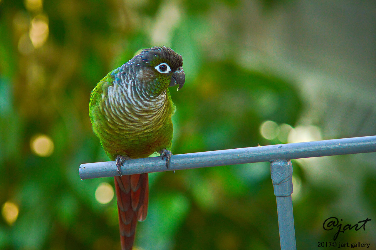 #conure #greencheekconure Animal Themes Animal Wildlife Animals In The Wild Bird Close-up Day Full Length Nature No People One Animal Outdoors