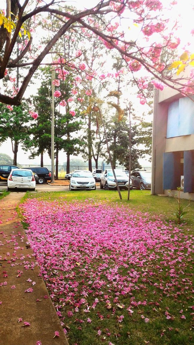 Flower Beauty In Nature Day Nature City Life Pink Color Tree Feelings Bealtiful Moment Colors Morning Sunflower Colorfull Reflection Texture In Nature  Light Fixture Colours Collors Light Death And Life Colorful Full Frame Death Nature Ipê Rosa