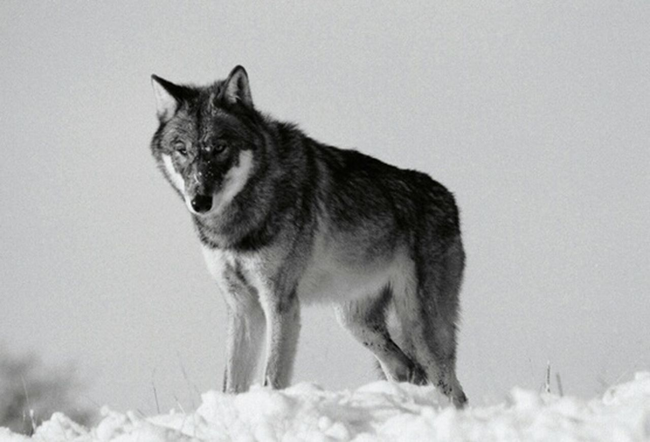 BIG BAD wolf wolfpack wolves Monochrome Black & White Photography Photography Wildlife Photography Reportage Documentary Nature Photography