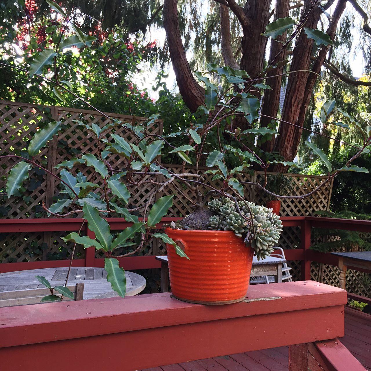 Rare Plants Specimen Plant Caudex Petopentia Natalensis Liana Lianas