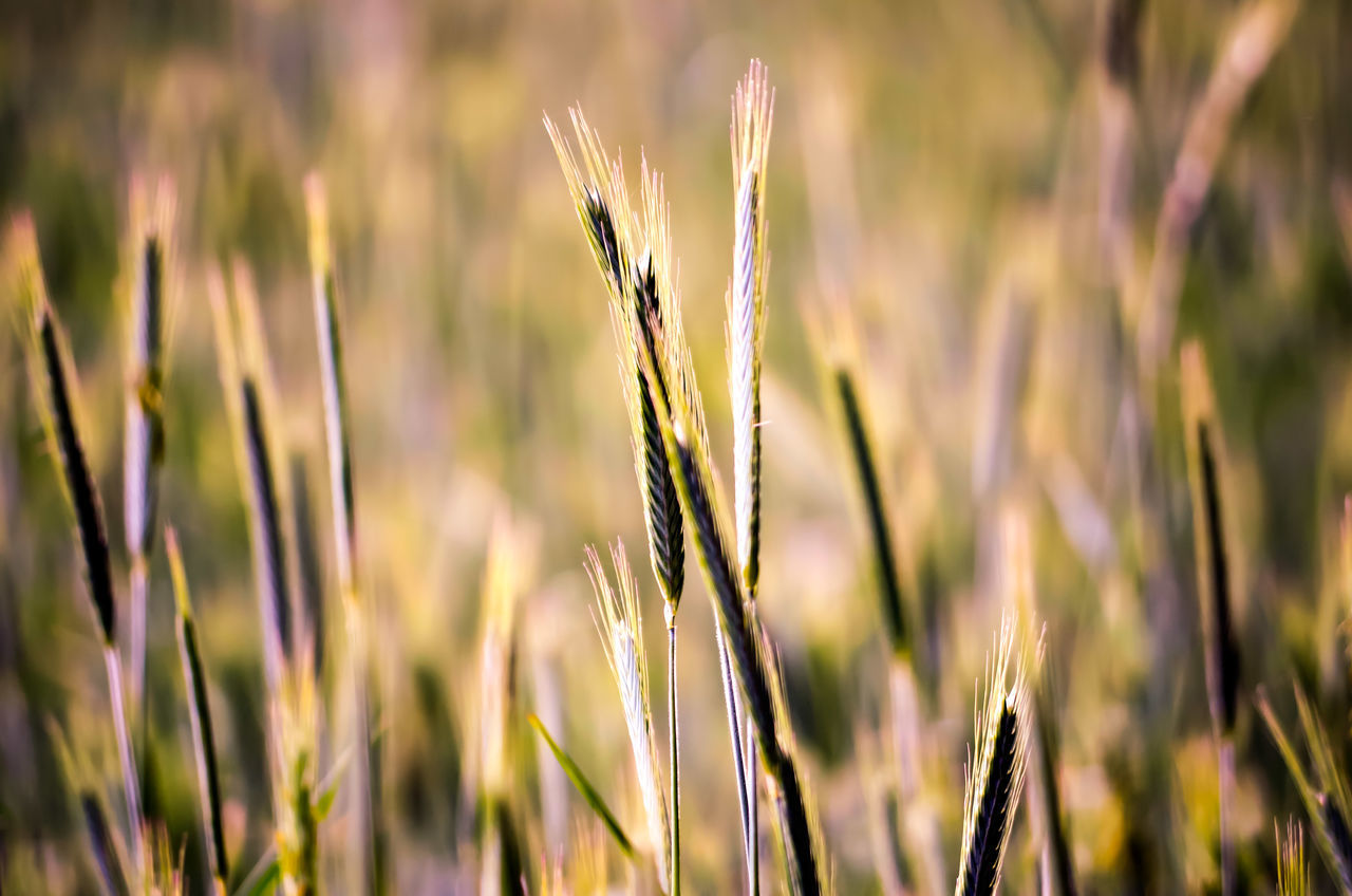 EyeEm Selects Cereal Plant Agriculture Plant Crop  Wheat Field Nature Rural Scene Growth Outdoors Close-up Focus On Foreground No People Grass Closing Day Summer Beauty In Nature Freshness Freedom Wonderlust Inspiration Germany