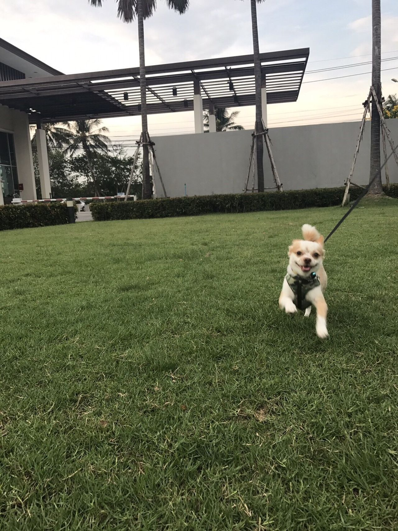 Grass Dog Pets Mammal Green Color One Animal Domestic Animals Field Outdoors Growth Day No People Running Dog EyeEmNewHere Chihuahua The Great Outdoors - 2017 EyeEm Awards Built Structure Building Exterior Architecture Full Length Nature Soccer Field Sky