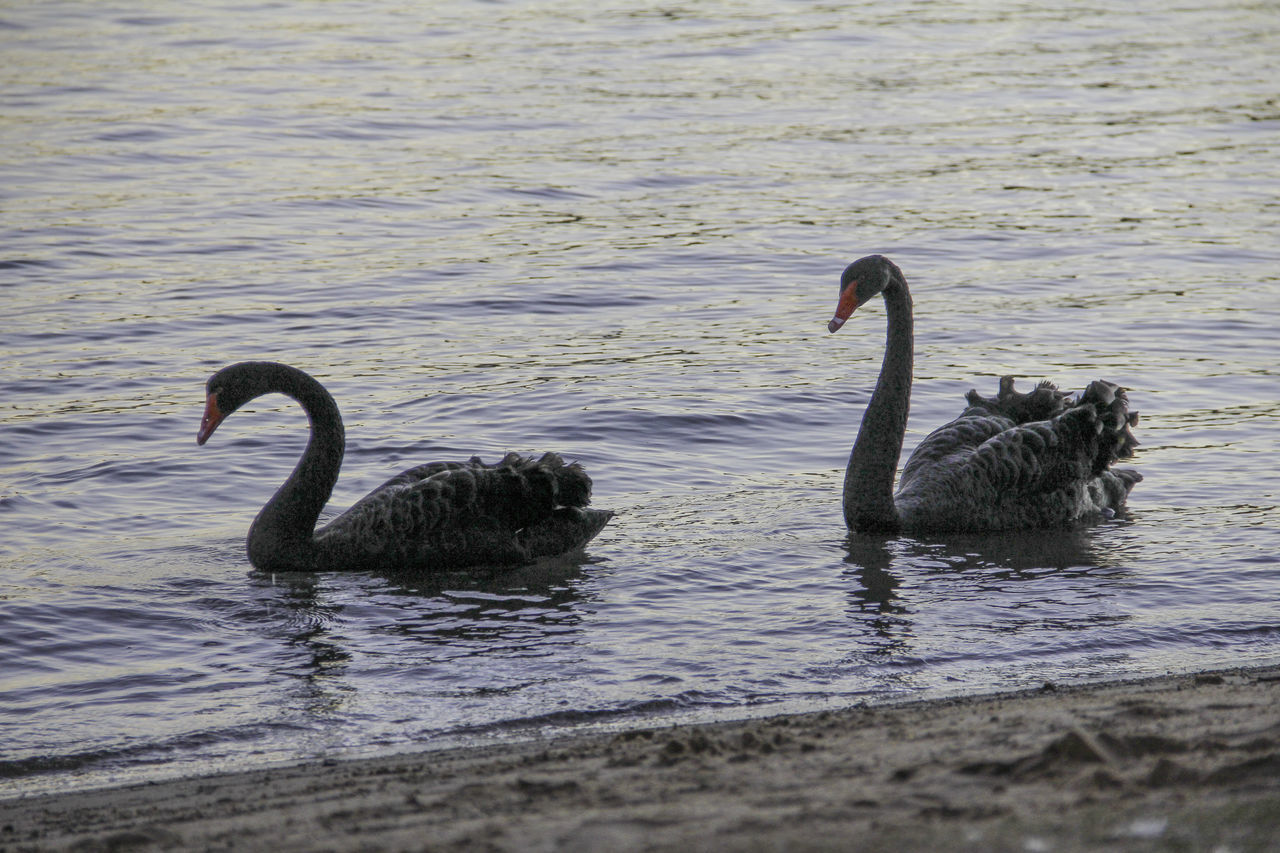 Black Swan Black Swans Black Swans Swimming Lake Swan Lake Swans Swimming Two Two Black Swans Water