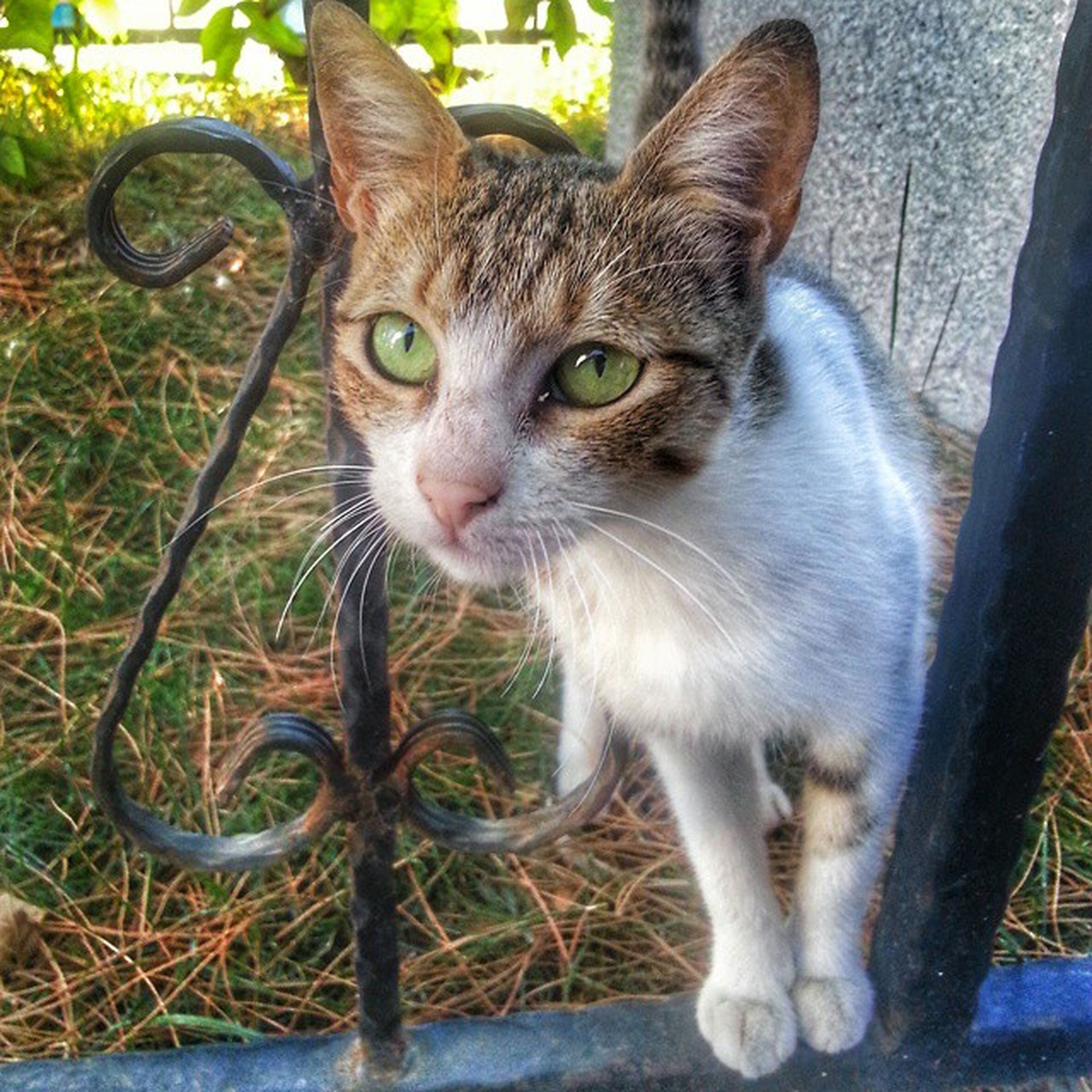 domestic cat, one animal, domestic animals, cat, mammal, pets, animal themes, feline, looking at camera, portrait, whisker, front view, sitting, close-up, day, staring, outdoors, alertness, grass, no people