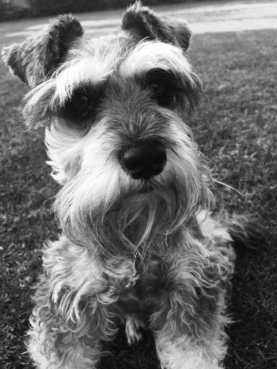 Puppy dog face❤❤❤❤❤ Lovelovelove Bestfriends Cute Pets Puppy Love Friendship. ♡   Petstagram Sweet Things Cuteness Schnauzer Picturing Individuality