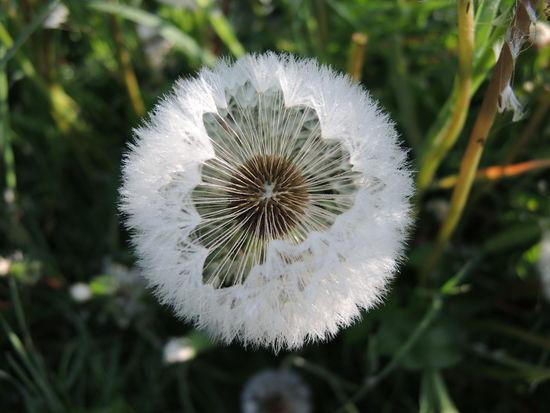 Lookinside Dandelion The Essence Of Summer