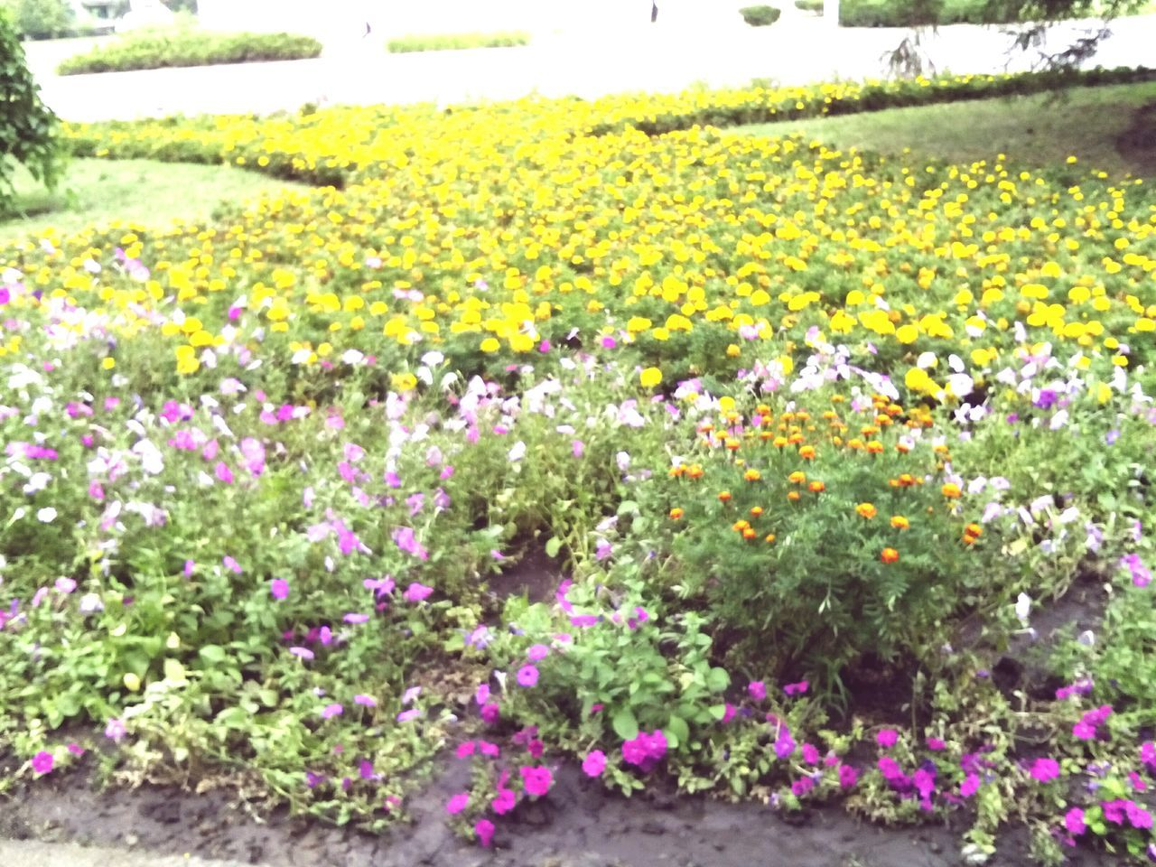 flower, plant, yellow, growth, nature, beauty in nature, day, no people, fragility, freshness, outdoors, field, blooming, flowerbed