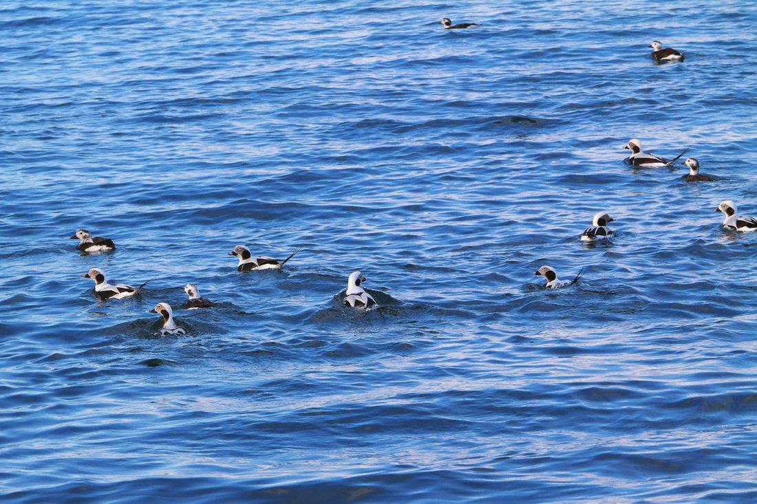 Long-tailed ducks in Avacha Bay Kamchatka. Animal Themes Animal Wildlife Animals In The Wild Beauty In Nature Bird Blue Day Ducks In Water High Angle View Large Group Of Animals Long-tailed Duck Nature No People Outdoors Sea Swimming Water Waterfront Waves, Ocean, Nature
