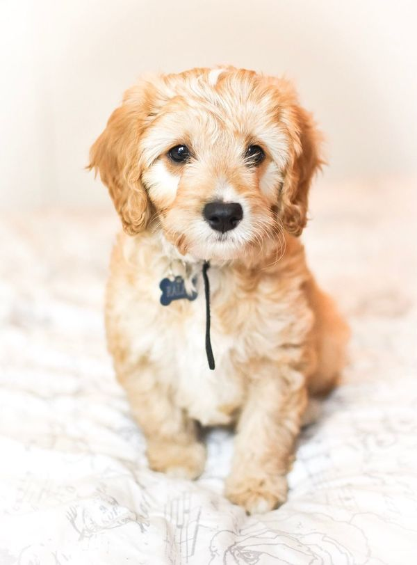 Sitting pretty Dog Pets Domestic Animals Animal Themes Mammal One Animal Mixed-breed Dog Close-up No People Retriever Portrait Cavalier King Charles Spaniel Day Cavapoo Dogs Of EyeEm Puppy Love Puppy Dog Love Dogs Pet Photography  Pets Corner Indoors  Looking At Camera