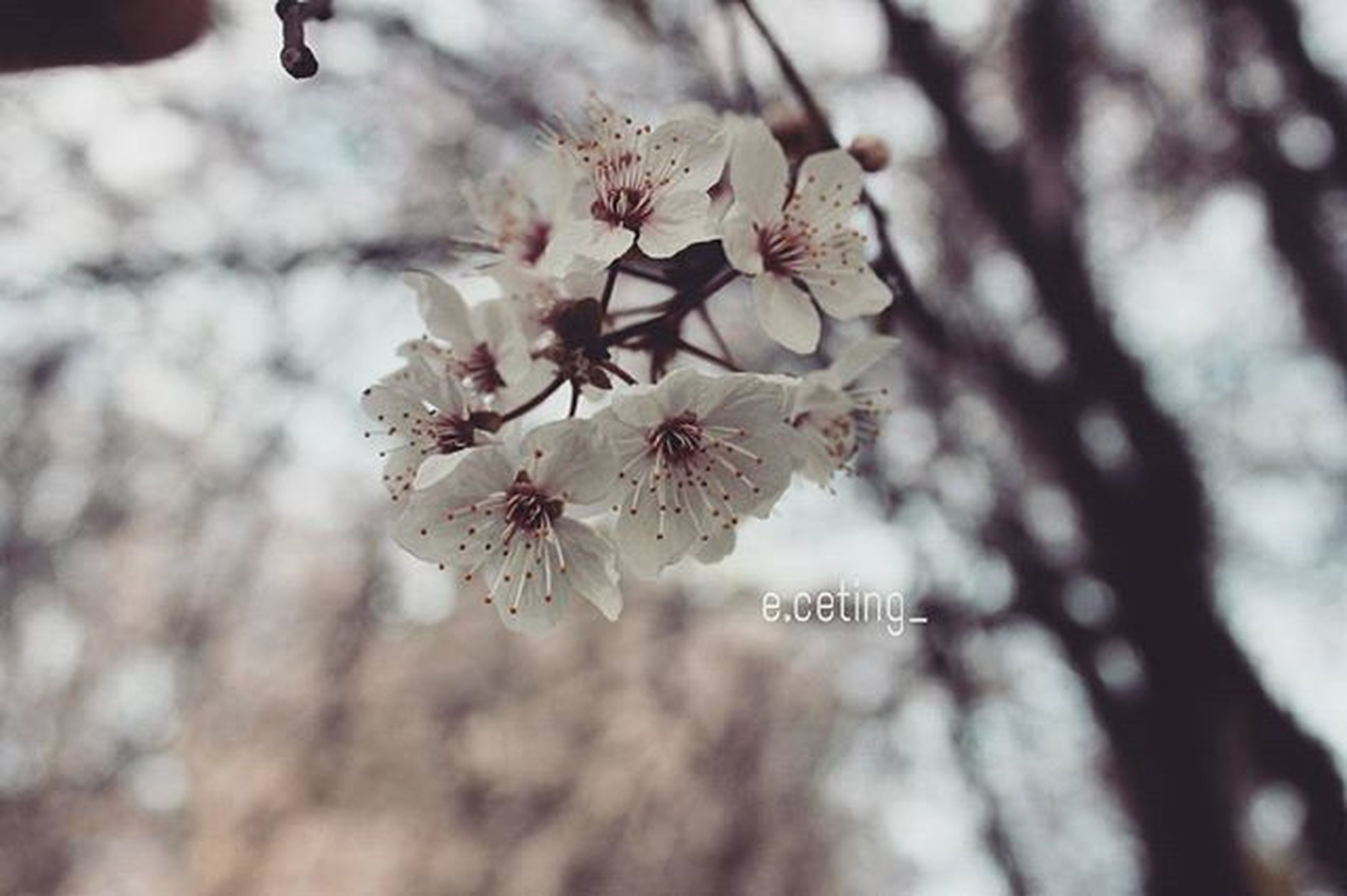 flower, freshness, branch, cherry blossom, tree, cherry tree, fragility, growth, blossom, beauty in nature, fruit tree, nature, focus on foreground, petal, close-up, in bloom, twig, springtime, blooming, pink color