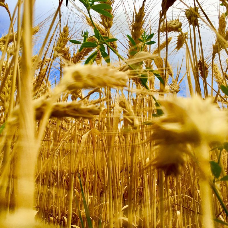 Growth Nature Plant Cereal Plant Selective Focus Field Focus On Background Crop  Day Wheat No People Outdoors Beauty In Nature Agriculture Grass Close-up