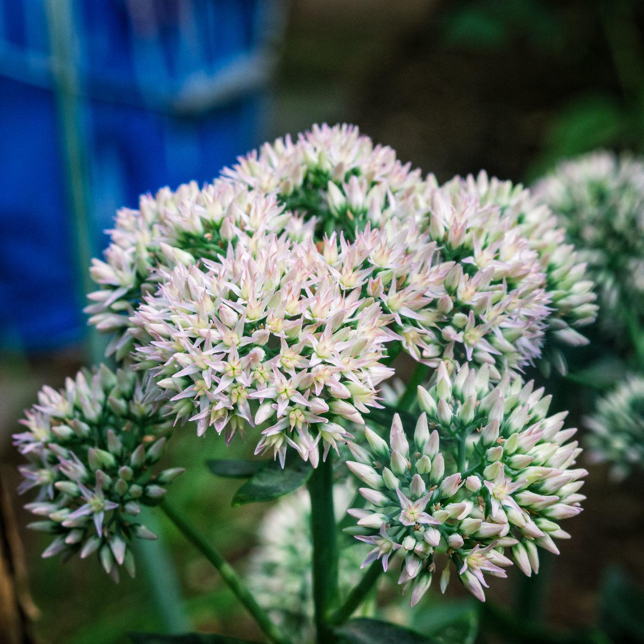leek flowers Blooming Close-up Day Flower Flower Head Growth Leek No People Outdoors Plant Vegetable Garden Vegetables