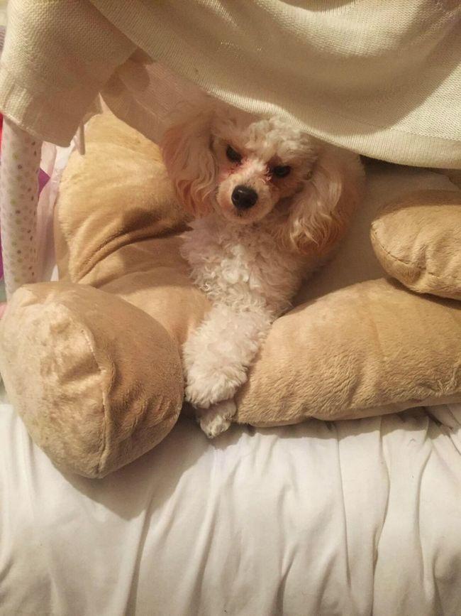 Toypoodle Poodle Poodletoy Poodles! Crossedlegs Dog❤ Dog Itsadogslife Relaxing