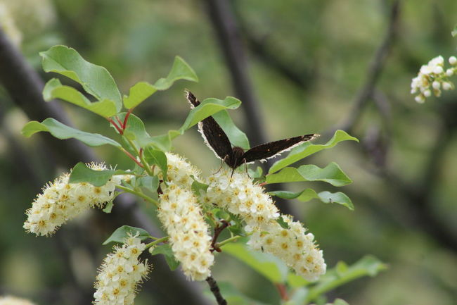 Wyoming Blooms Choke Cherry Blossoms Bighorn Mountains Butterfly