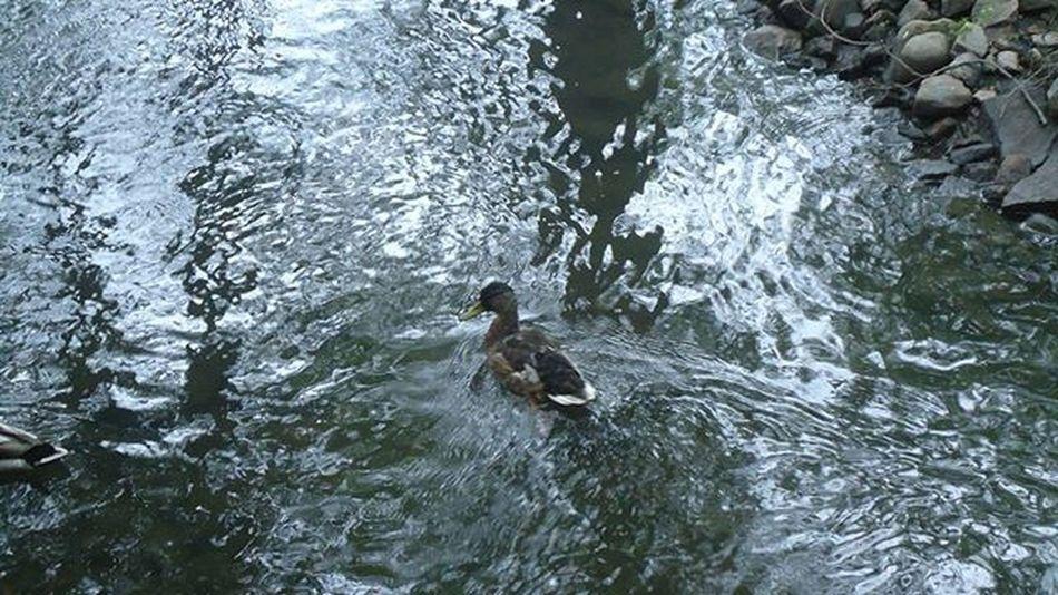 Duck Pato Canard Ankka Water Agua Vetta Eau Helsinki Finland Suomi Visithelsinki Visitfinland Igershelsinki Igerssuomi Igersfinland Fotofanatics_nature_ Nature Naturelovers Naturaleza Luonto