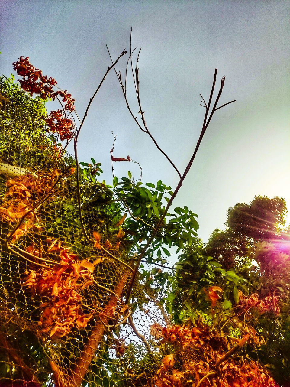 tree, growth, nature, sky, low angle view, beauty in nature, no people, outdoors, sunset, fruit, day, branch, freshness, close-up