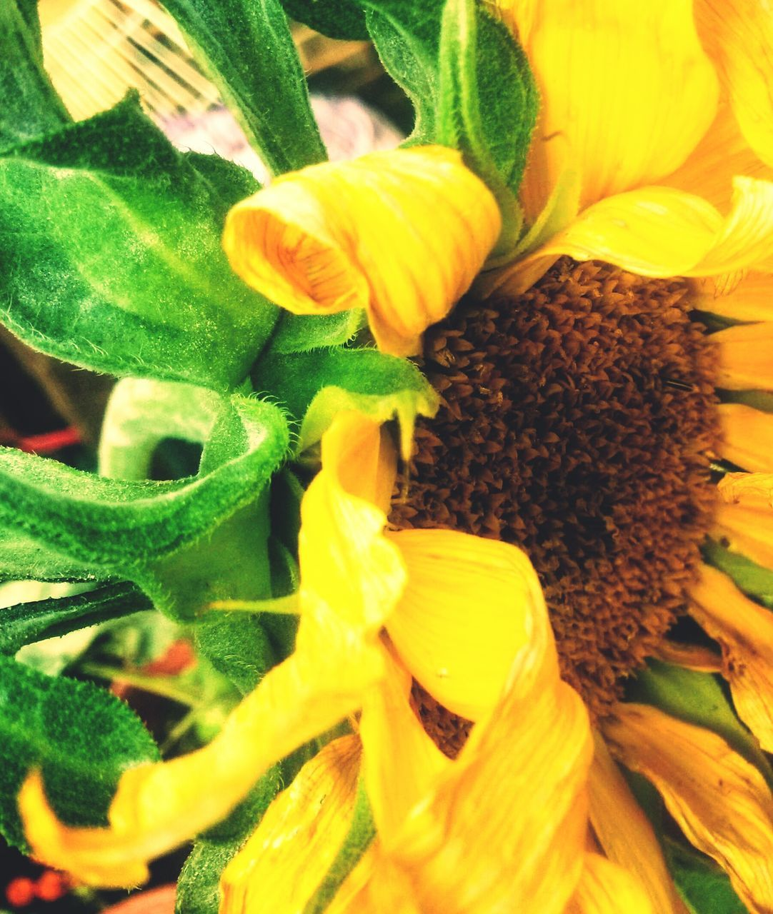 flower, freshness, growth, plant, petal, yellow, fragility, nature, leaf, beauty in nature, sunflower, no people, close-up, flower head, green color, food, vegetable, outdoors, day