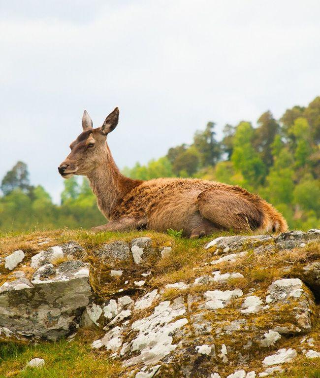 Deer Animal Nature Nature Photography Kincraig Highland Wildlife Park Highlands Scotland Scottish Wildlife & Nature Wildlife Photography Wildlifephotography Photoart