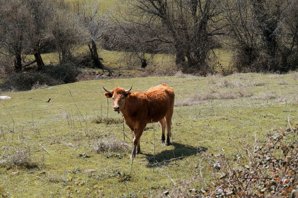 Cow Animal Themes One Animal Field Grass Nature Tranquility Outdoors Beauty In Nature Bare Tree Tree