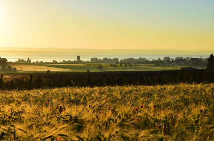 Field Nature Landscape Tranquil Scene Beauty In Nature Agriculture Scenics Bodensee Rural Scene Growth Sunset Crop  Grass No People Outdoors Plant Tree Clear Sky Day Sky Bodenseebilder Bodensee Sun