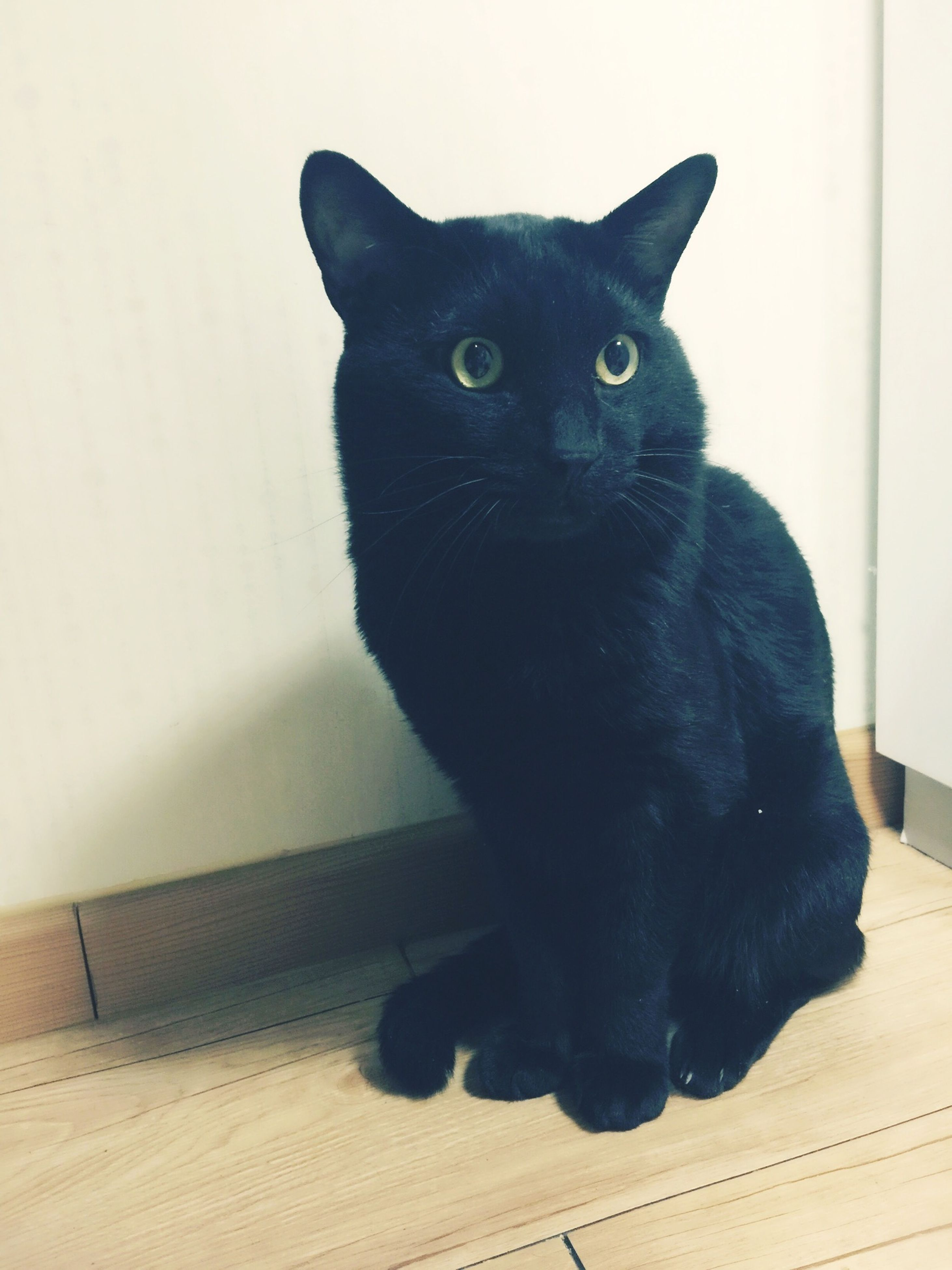 domestic cat, black color, pets, domestic animals, one animal, mammal, animal themes, feline, looking at camera, indoors, no people, yellow eyes, close-up, day