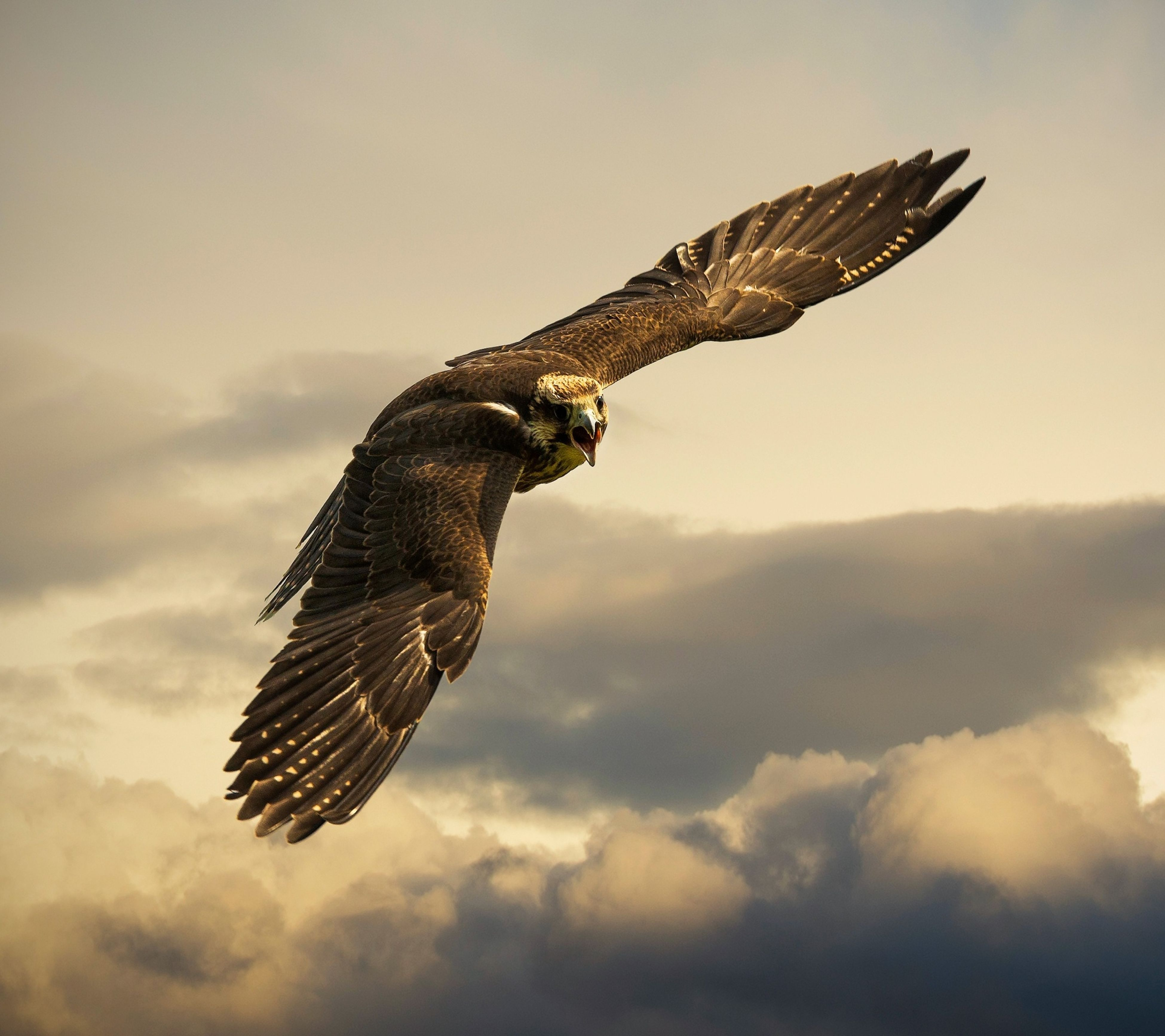 bird, flying, one animal, spread wings, bird of prey, mid-air, animals in the wild, animal themes, animal wildlife, sky, nature, eagle - bird, cloud - sky, no people, beauty in nature, hawk - bird, outdoors, day, bald eagle, vulture, close-up