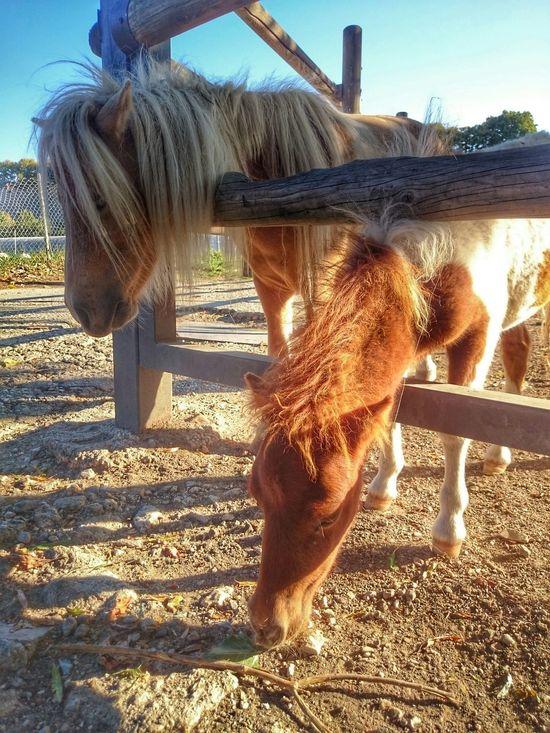 Eyeem Animal Animals Nature_collection EyeEm Nature Lover Nature_collection Eyemphotography Ponies Animal Horses
