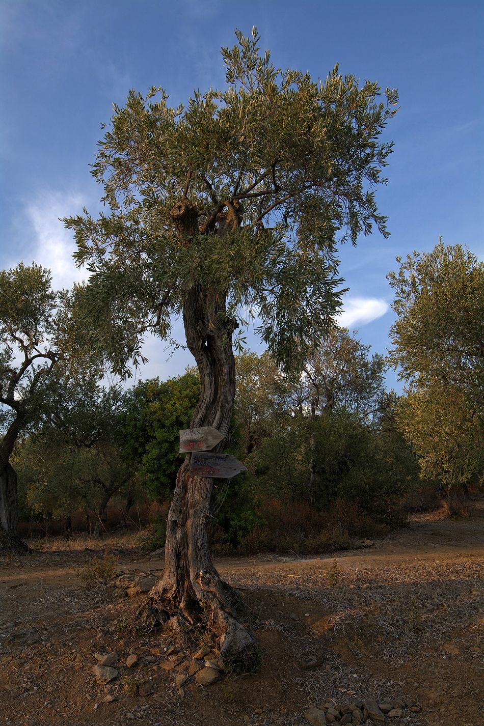 Olive tree Olive Tree Olive Tree Landescape Olivengarten Olive Green Olive Garden Eyeem4photography EyeEm Gallery Capture The Moment Hello World Nikon_photography_ Perfect Shot Greece Skiathos Outdoors Farmers Field Beauty In Nature Wonderful_places Greatest_shots