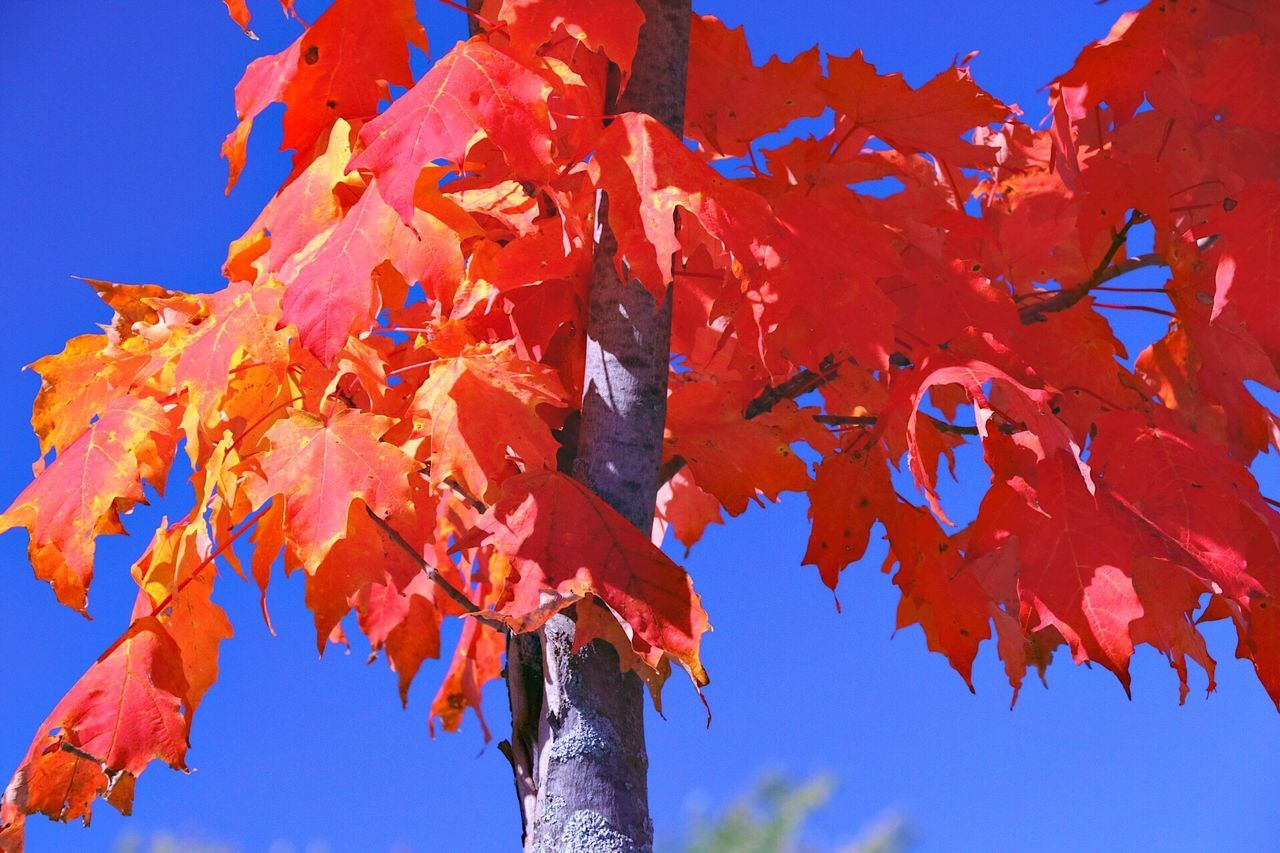 TakeoverContrast Low Angle View Autumn Change Tree Season  Leaf The Color Of Business Branch Beauty In Nature Orange Color Clear Sky Maple Leaf Day Vibrant Color Nature Orange Scenics Tranquility Growth Leaves