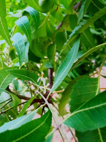 No People Outdoors Nature Green Color Plant Neem Leaves Neem Flowers Neem Tree EyeEmNewHere