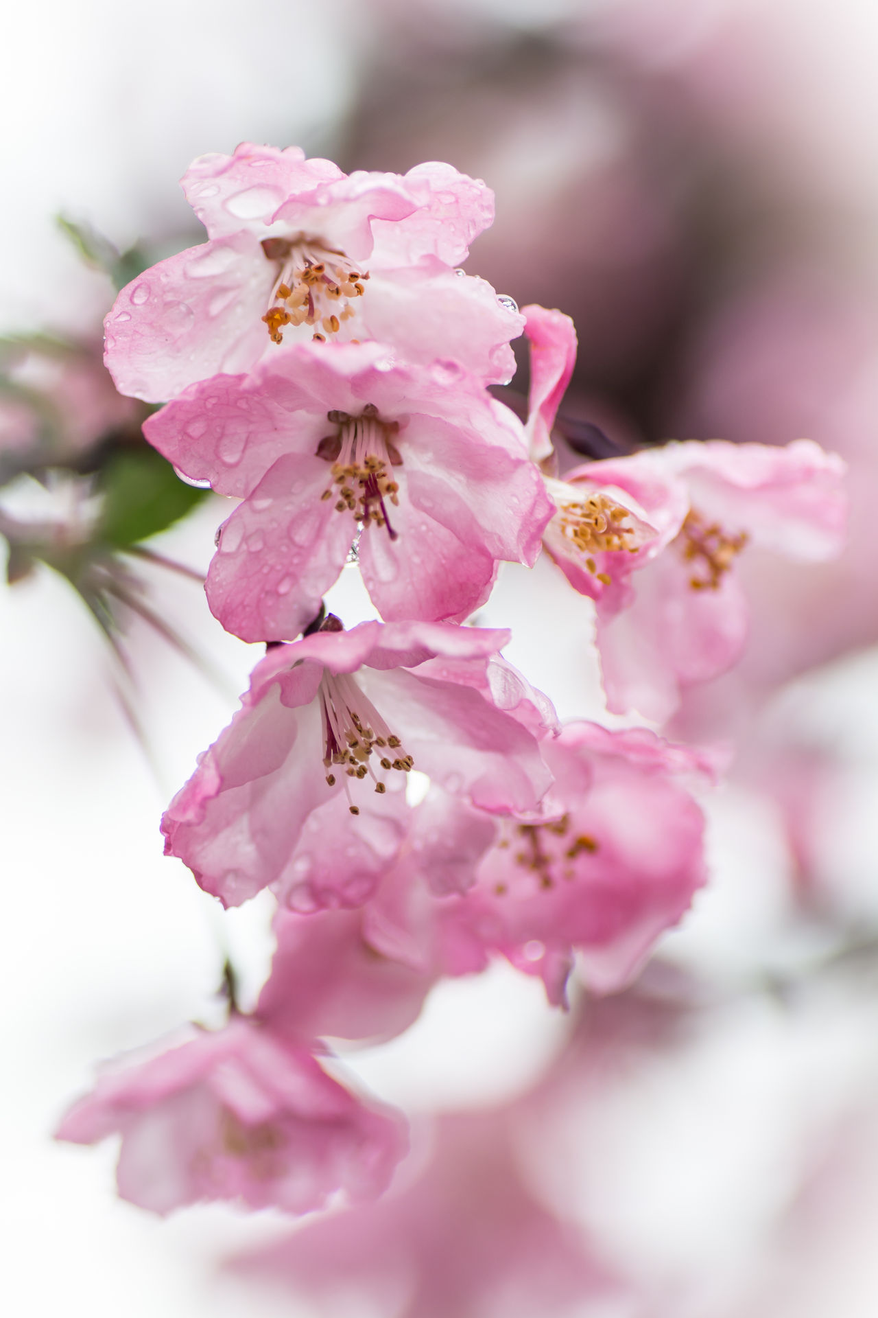 Asakusa Blossoms. Rainy but beautiful day around Sensō-ji Temple. Asakusa, Tokyo, Japan. Nikon D7100 | 90mm | 1/400 sec | f/4 | iso 100 Wanderlust Urban Exploration Blossom Flower Spring
