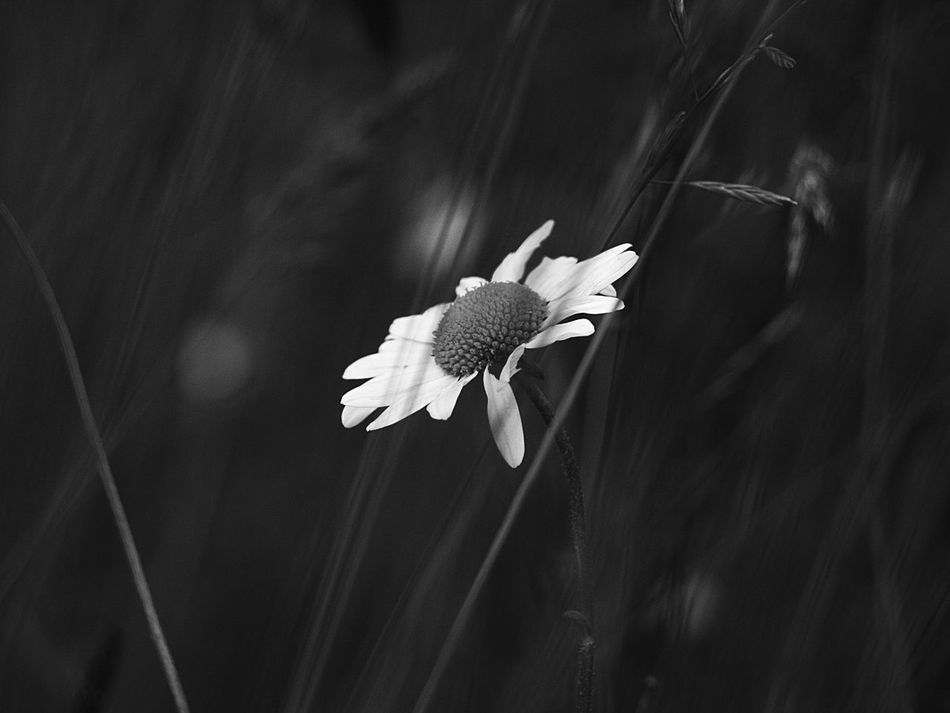 Beauty In Nature Black & White Black And White Flower Collection Botany Close-up Daisy Flower Field Flower Flower Freshness Grass Growth No People Plant Selective Focus Monochrome Photography
