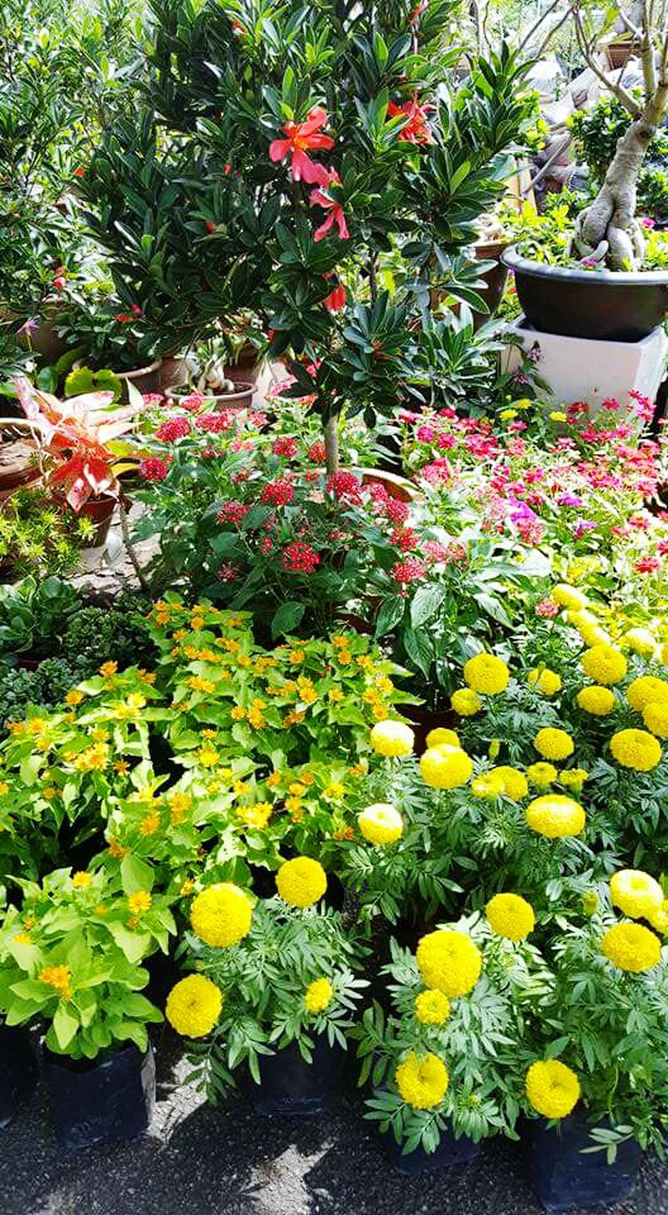 Growth Flower Nature Plant Freshness Beauty In Nature Outdoors Green Color TreeYellow Day Yellow Color Pink Color Green Color Leaves🌿 Leaves And Flowers RedFlower Yellowflower Garden Flowers My Garden @my Home