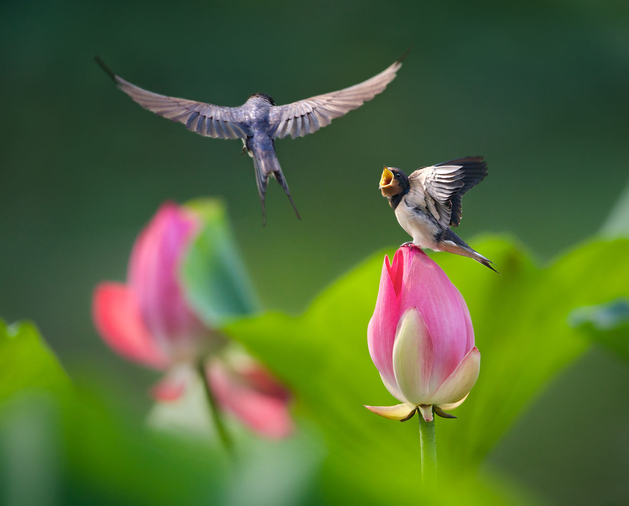 Baby swallow stand in a lotus to wait its mom Baby Flowers Flying Green Lotus Love Nature Nature, Flowers Pink Summer Swallow Showcase June The Great Outdoors - 2016 EyeEm Awards