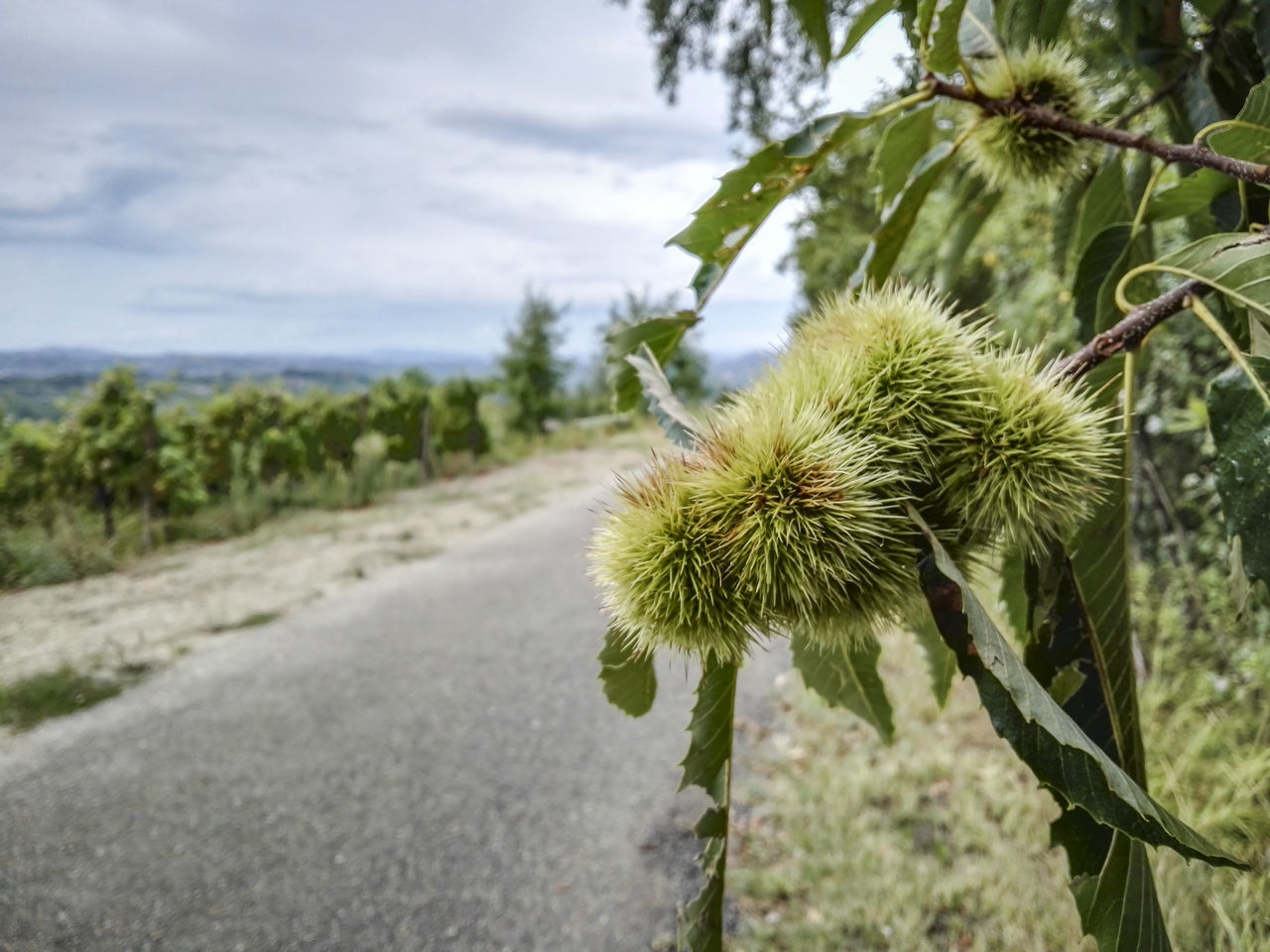 Beauty In Nature Botany Chestnut Close-up Cloud - Sky Focus On Foreground Green Growing Growth Italy Nature No People Outdoors Piedmont Piemonte Plant Selective Focus Tranquility