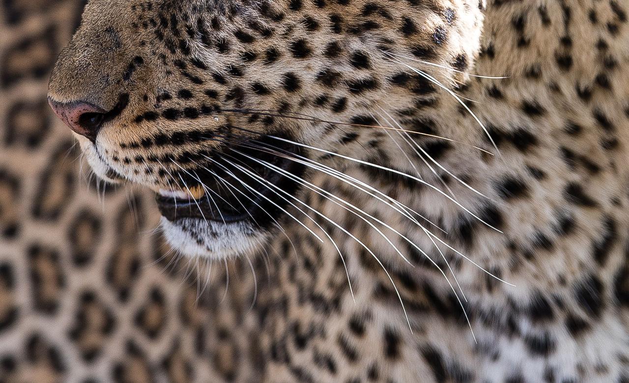 Africa Animal Themes Animals In The Wild Close-up Feline Kenya Leopard Mammal Mammals Masai Mara Nature No People One Animal Outdoors Patterns In Nature Safari Safari Animals Spots Whisker Wildlife