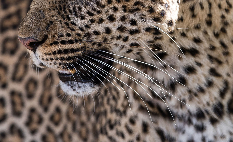 Africa Animal Themes Animals In The Wild Close-up Feline Kenya Leopard Mammal Mammals Masai Mara Nature No People One Animal Outdoors Patterns In Nature Safari Safari Animals Spots Whisker Wildlife