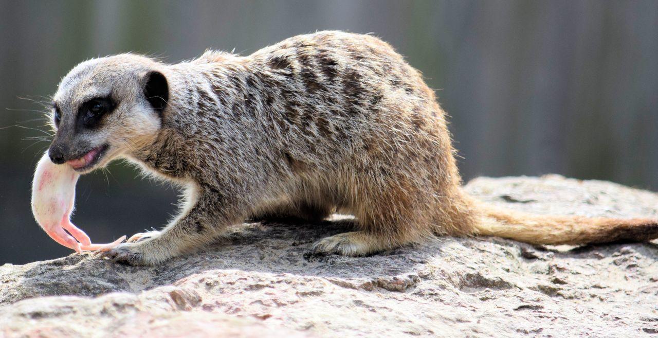 Annas Welsh Zoo Pembrokeshire Animal Themes Animals In The Wild Day Meerkat Meerkat, Cute Animals, Furry, Animal Close Up, Yellow, Zoo, Zoo Pics, Meerkat Pics Nature Outdoors