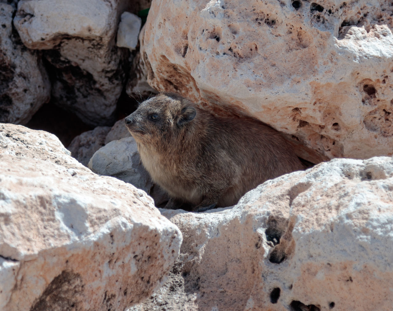 mountain rabbit sitting between rocks on the morning in Rosh Hanikra, Israel Adventure Animal Wildlife Anxiety  Brown Burrow Close-up Day Fluffy Fur Hare Israel Mammal Mountain National Nature One Animal Outdoors Park, Rabbit Rock - Object Rodent Rosh Hanikra Sitting Small Stone