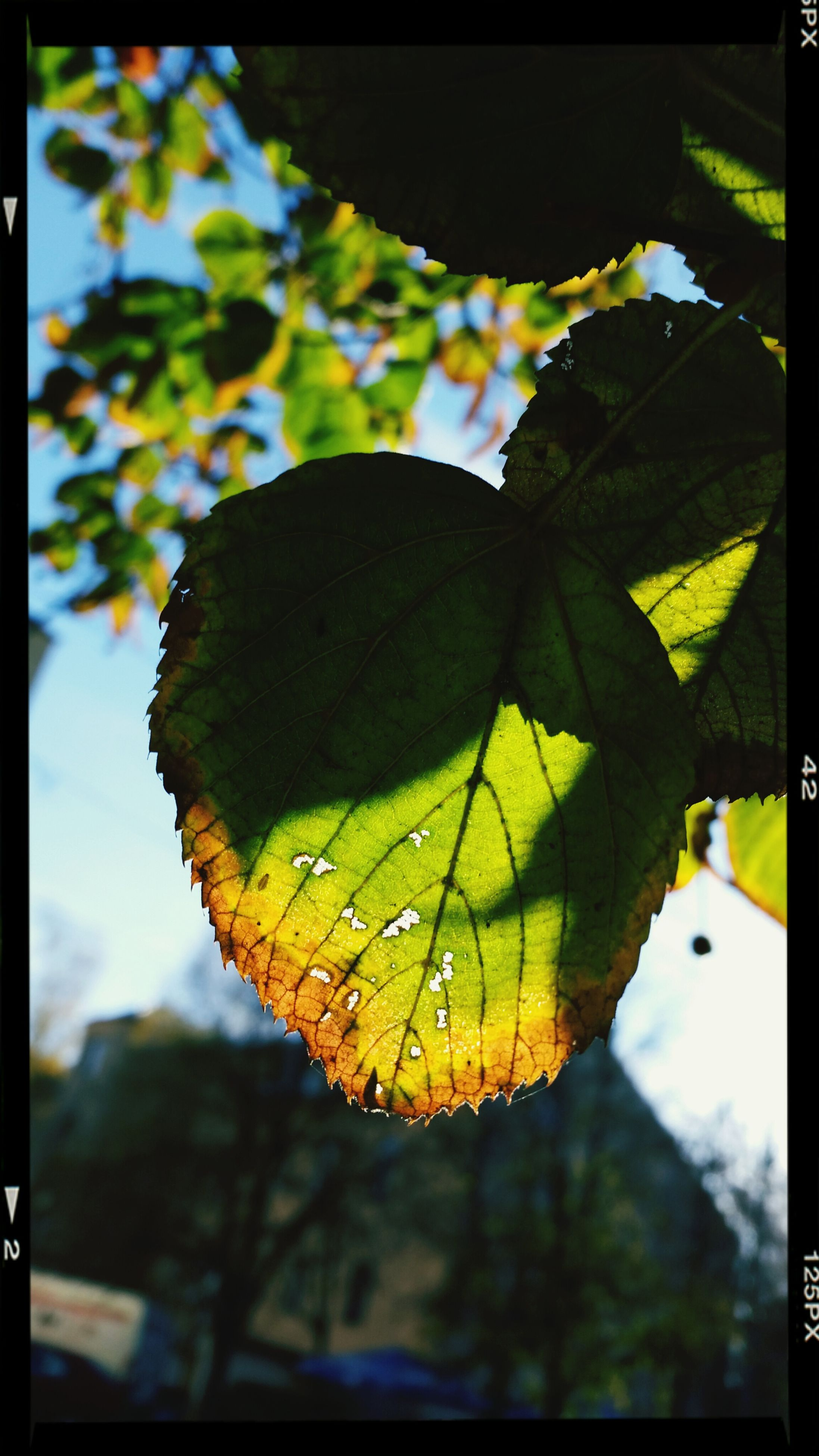 leaf, focus on foreground, close-up, transfer print, leaf vein, auto post production filter, yellow, tree, growth, green color, day, sky, selective focus, nature, outdoors, sunlight, no people, built structure, autumn, branch