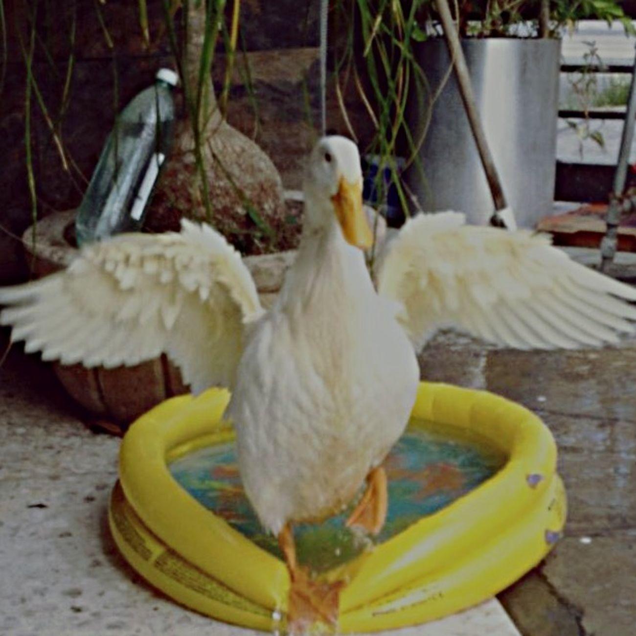 Small And Swift Monterrey, México Pato Pato Pato Pato Cuak Mimascota Amoamimascota