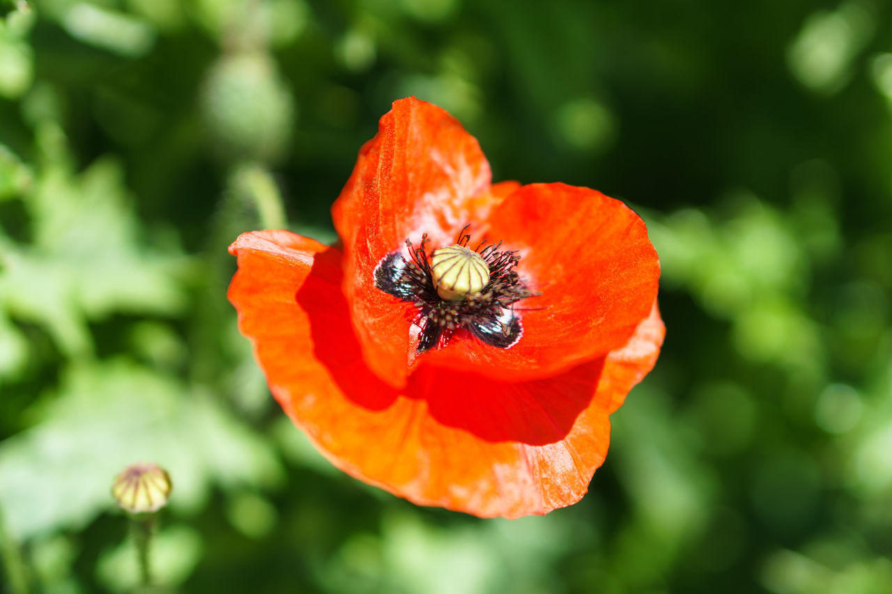 Animal Themes Animal Wildlife Animals In The Wild Beauty In Nature Bee Blooming Close-up Day Flower Flower Head Focus On Foreground Fragility Freshness Growth Insect Nature No People One Animal Outdoors Petal Plant Pollination Poppy Red Zinnia