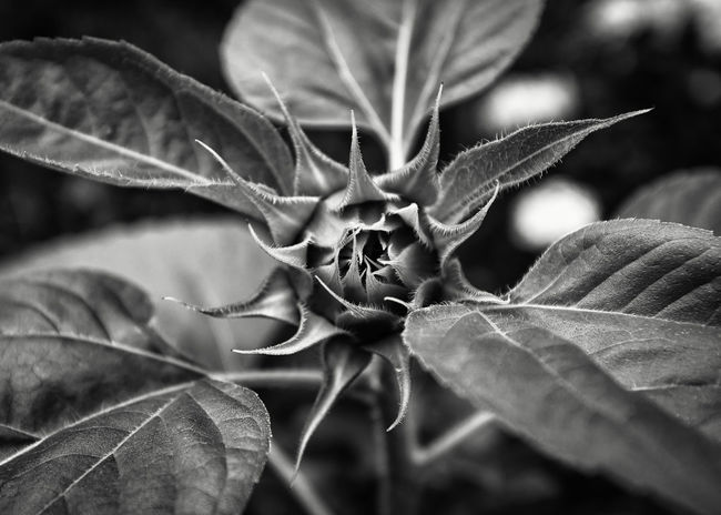 Beauty In Nature Close-up Focus On Foreground Freshness Full Frame Green Green Color Growth Leaf Leaf Vein Leaves Monochrome Photography Nature Plant Selective Focus Tranquility