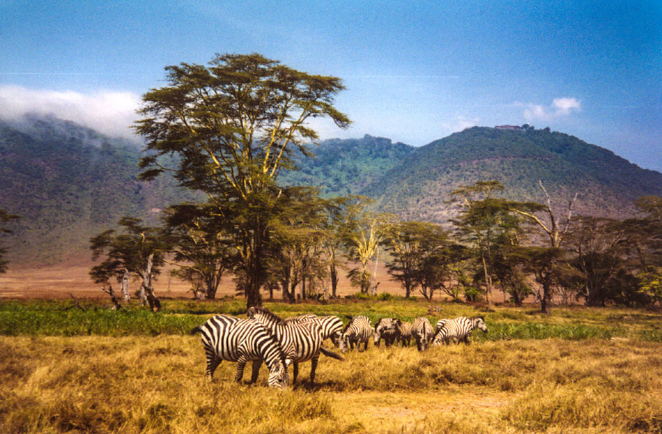 Pre digital Africa Animal Animal Themes Animal Wildlife Animals In The Wild Beauty In Nature Boab Tree Crater Day Grass Landscape Large Group Of Animals Mammal Mountain Nature No People Outdoors Peaceful Safari Animals Sky Tree Zebra Pre Digital EyeEmNewHere.